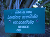Lavatera acerifolia var. acerifolia (Jardin Canaria)