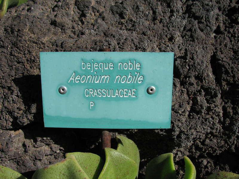 Aeonium nobile (Native to La Palma 200-800m.     Jardin Canaria)