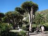Jardin Canaria (Dracaena draco)
