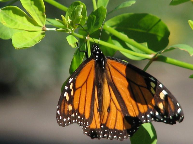 Danaus chryssipus (African Monarch) (Jardin Canaria)