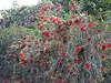 Callistemon rigidus (Jardin Canaria)