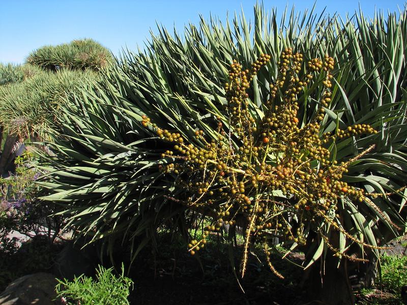 Dracaena draco in fruit (Jardin Canaria)