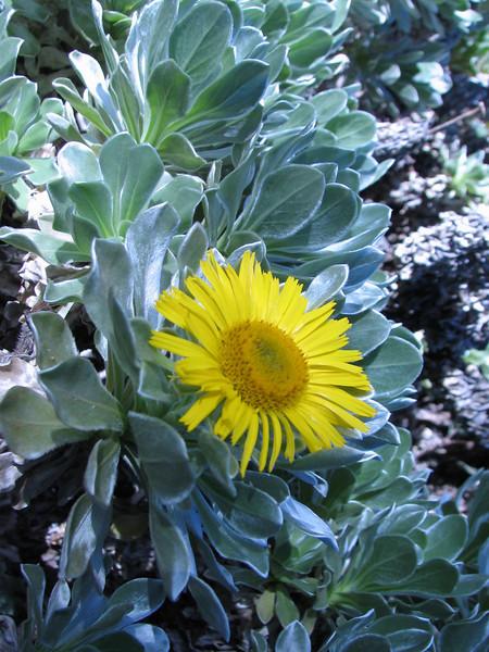 Nauplius sericeus ( Asteriscus sericeus ) (Jardin Canaria)