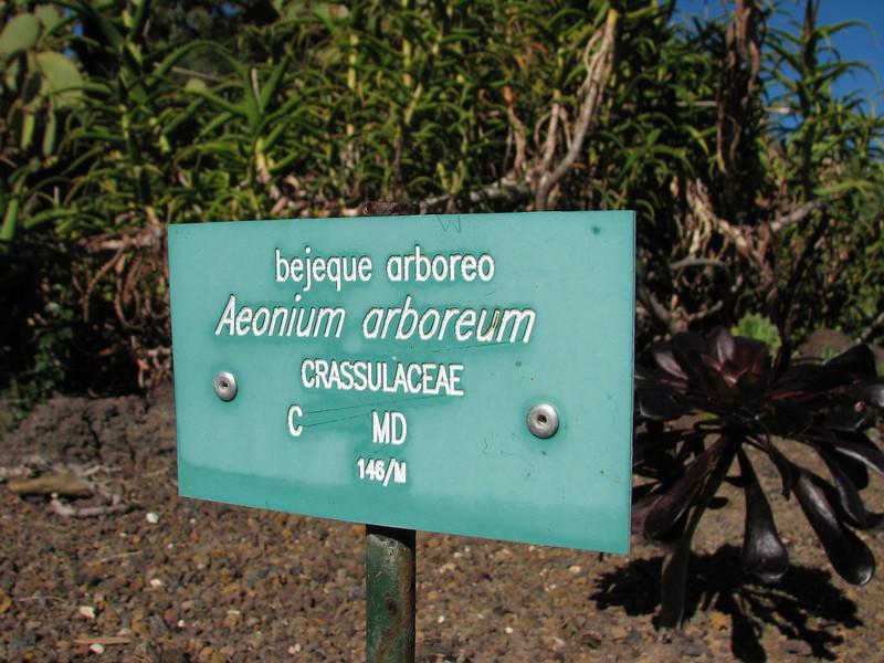 Aeonium arboreum (Jardin Canaria)