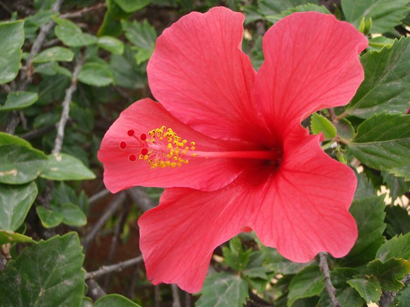 Hibiscus rosa-sinensis (Gran Canaria      )