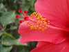 Hibiscus rosa-sinensis (close up stamen and anters    )