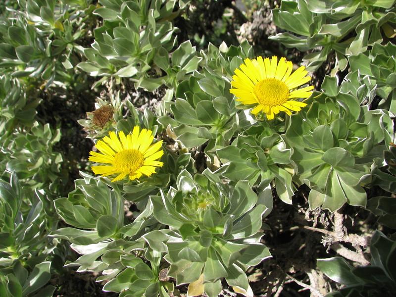 Asteriscus sericeus (Jardin Canaria)