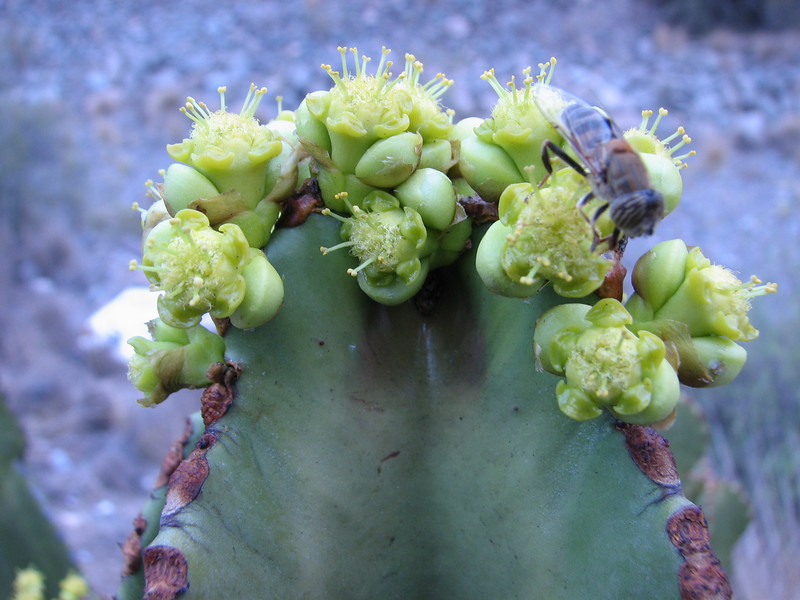 Euphorbia spec. in flower (Gran Canaria )