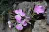 Dianthus rupicola ssp. bocchoriana, endemic to Mallorca, Gardi Botanice de Sóller,