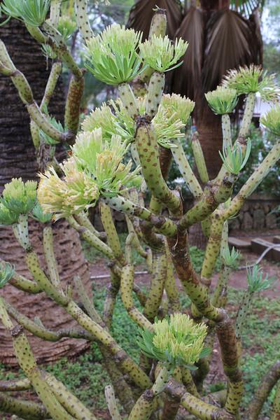 Senecio kleinii, garden in Cala Figuera