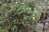 Helianthemem canarianse, endemic to the Canary Islands, Gardi Botanice de Sóller,