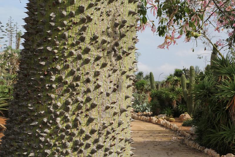 Chorisia speciosa, native to Brasil, Garden Botanicactus, E of Ses Salines