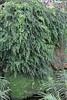 Adiantum capillus-veneris on a wet tuf-stone, Gardi Botanice de Sóller,