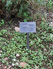 Lavandula dentata, Gardi Botanice de Sóller,