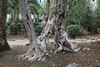 Olea europaea trunk, Jardines de Alfabia