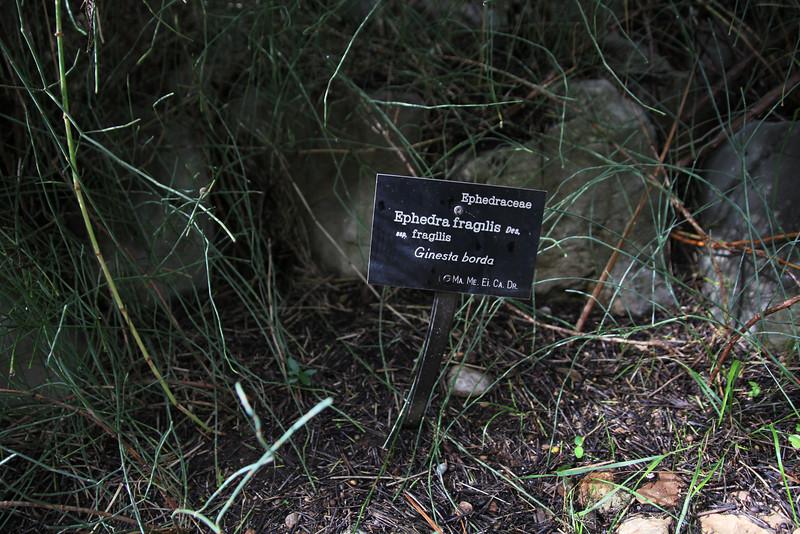 Ephedra fragilis ssp. fragillis, Gardi Botanice de Sóller,