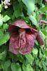 Aristolochia gigantea, Gardi Botanice de Sóller,