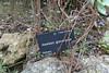 Aeonium gomerense, endemic to la Gomera island, Gardi Botanice de Sóller,