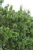 Buxus balearica, Endemic to Gardi Botanice de Sóller,