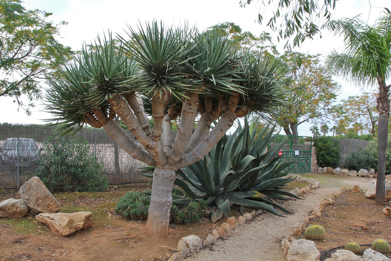 Dracaena draco, native to the Canary Islands, Garden Botanicactus, E of Ses Salines