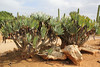 Aloe plicatilis, native to Africa, Garden Botanicactus, E of Ses Salines