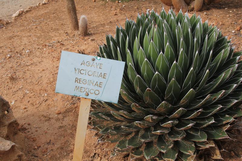 Agave victoriae reginae, native to Mexico, Garden Botanicactus, E of Ses Salines