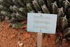 Euphorbia resinifera, native to SE Africa, Garden Botanicactus, E of Ses Salines