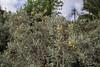 Neochamaelea pulverulenta, Gardi Botanice de Sóller,