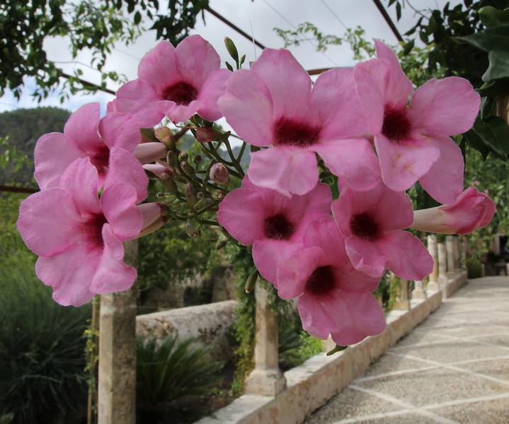 Pandorea jasminoides, native to New South Wales and Queensland, Jardines de Alfabia