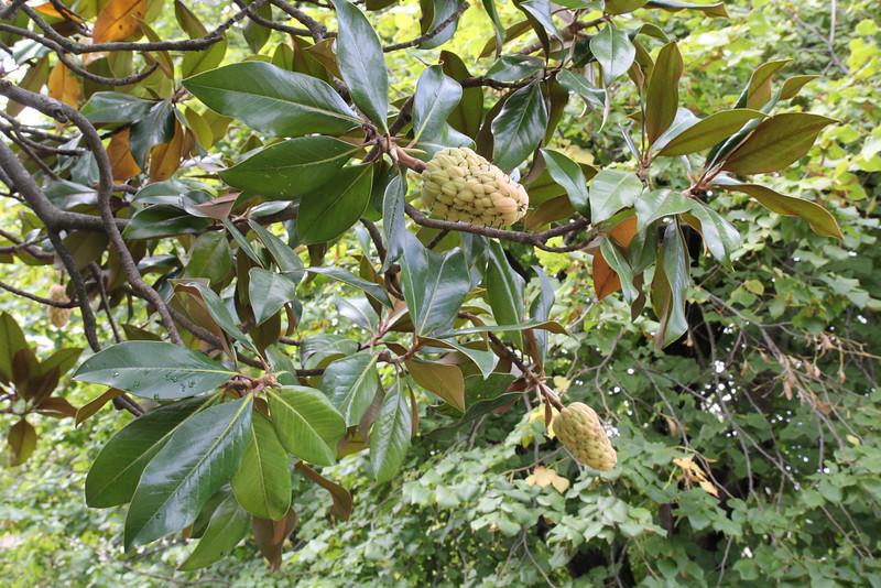 Magnolia grandiflora, Gardi Botanice de Sóller,