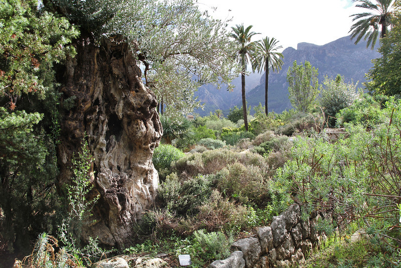 Olea europaea, Gardi Botanice de Sóller,