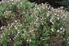 Lavandula inodorus, Gardi Botanice de Sóller,