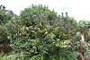 Polygala myrtifolia, Gardi Botanice de Sóller,