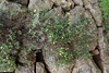 Helianthemem canarianse, endemic to the Canary Islands, Gardi Botanice de Sóller,