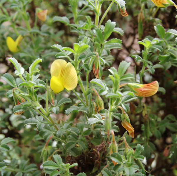 Ononis natrix, Gardi Botanice de Sóller,