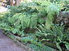 fern: Niphidium crassifolium (Puerto de La Cruz,Tenerife)