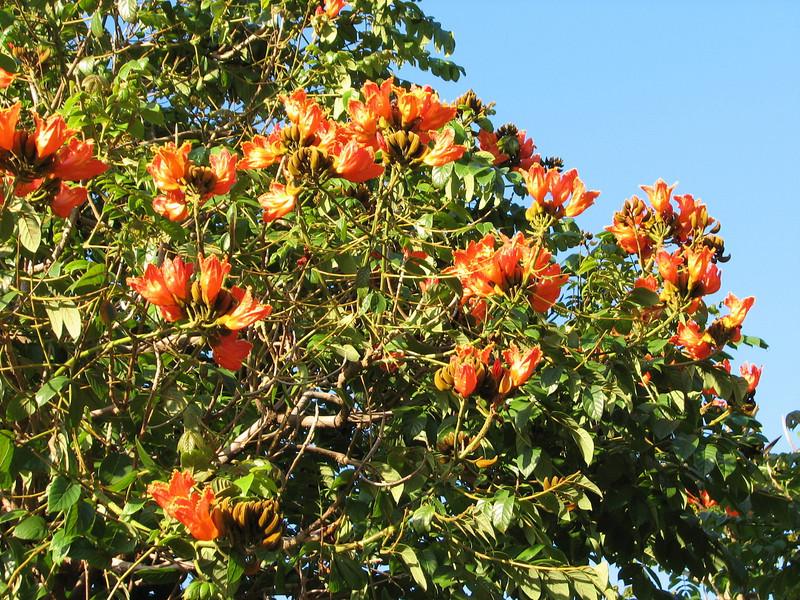 African tulip tree, Spathodea campulata (Puerto de La Cruz,Tenerife)