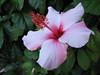 Hibiscus rosa-sinensis ( Puerto de La Cruz,Tenerife)