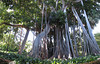 Ficus macrophylla , age: 200 years (Puerto de La Cruz,Tenerife)