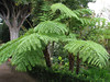 Sphaeropteris cooperi (Cyathaceae, Australia) (Botanical Garden Orotava)