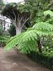 Sphaeropteris cooperi (Botanical Garden Orotava)
