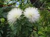 Calliandra haematocepha (Botanical Garden Orotava)