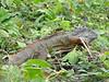 luguaan (Parque Exoticos Amazonica)