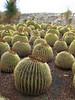 Echinocactus spec. (Parque Exoticos Amazonica, Los Americanos, South Tenerife)
