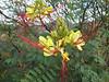 Caesalpina gilliesii (Parque Exoticos Amazonica)