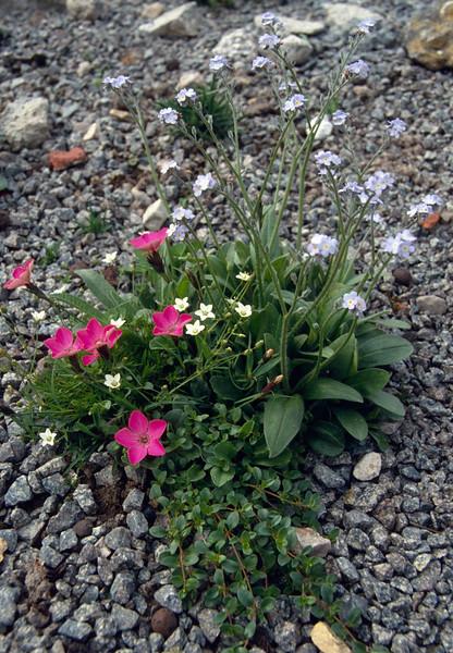 Dianthus pavonius