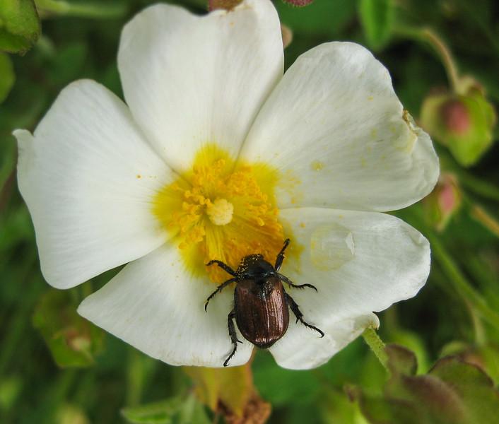 Phyllopterta horticola on Cistus salviifolius