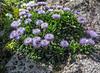 Globularia cordifolia ssp. bellidifolia