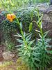 Lilium carniolicum