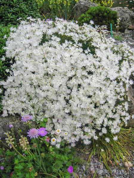 Dianthus arenarius ssp. borriuscula